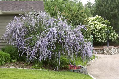 Buddleia alternifolia Silver Fountain Butterfly bush