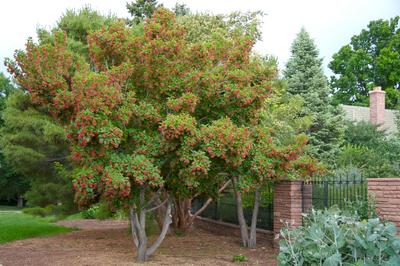 Hot Wings Acer tataricum