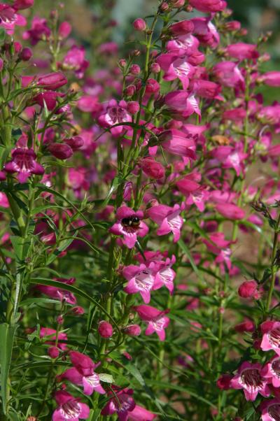 Red Rocks penstemon