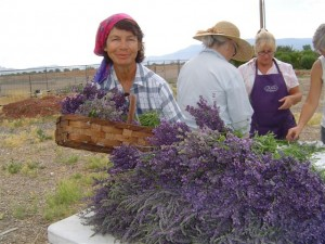 Yvonne Barron helps with the first lavender harvest