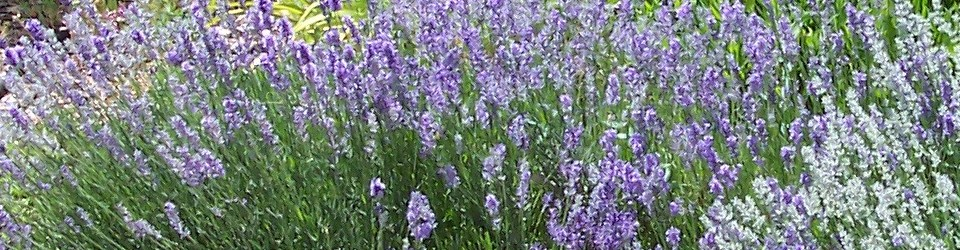 Lavender… and so much more